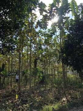 Jual tanah cepat dan murah bonus pohon jati