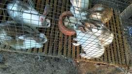 Kelinci umur 2,5 bulan