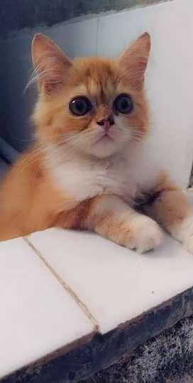 Persian Kitten ( 3 months)