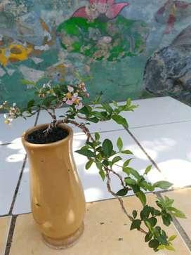 Bonsai Mame Sakura