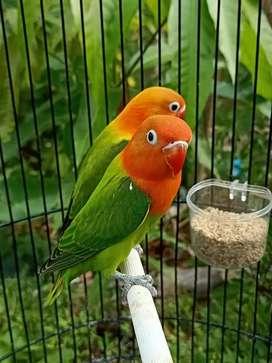 Lovebird Biola Green Pedas
