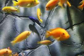 All types of cichlid