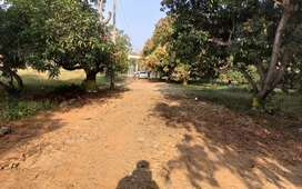 Mango  gardens
