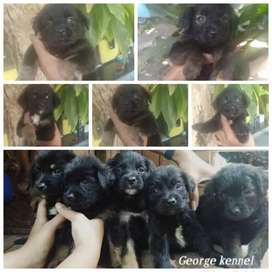 Rootweler mix labrador mantaap