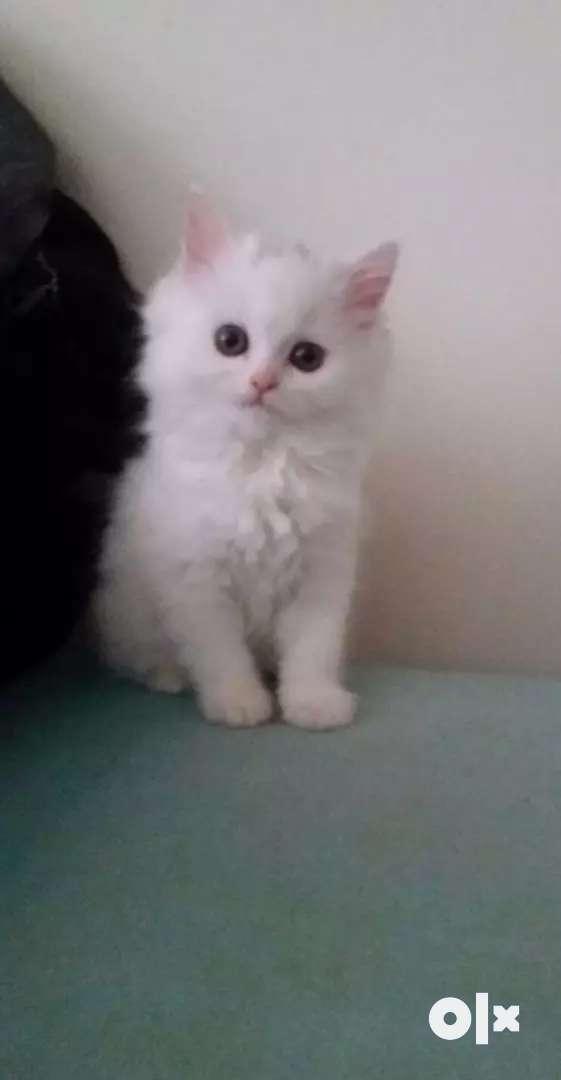 Snow white kitten 0