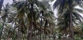 6acra's coconut farm land rivar said farm land