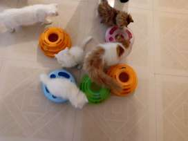 Adorable Persian kittens available in all colours