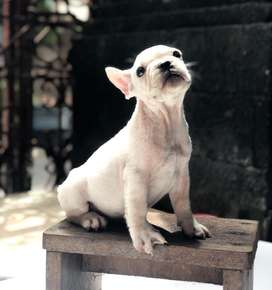 French bulldog jantan