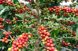 1350 ACKRS COFFEE PEPPER ESTATE FOR SALE