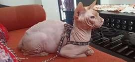 Kucing Unik Sphynx / Persia / anggora