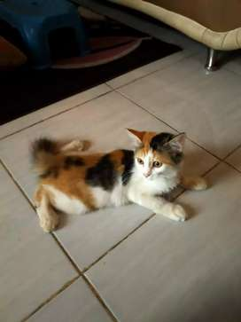 Kucing anggora belang telon