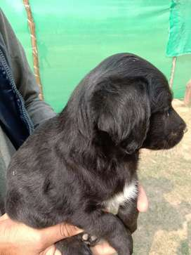 Cocker Spanial Puppy