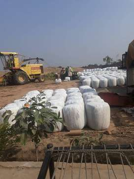 Dairy Corn Silage