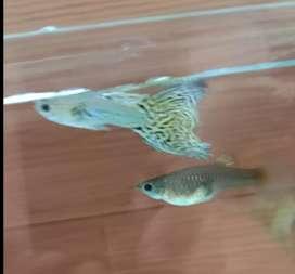 Sepasang guppy ikan hias cantik