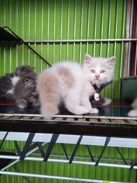 Kitten persia betina wrn cream bagus,  muka imut banget