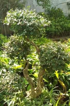 Jual pohon bonsai serut hias has