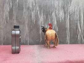 Ayam serama, ayam mini