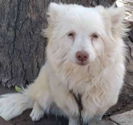 Russian Samoyed