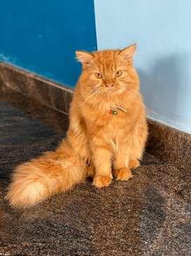 Pesian cat