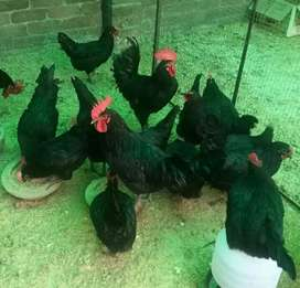 Austrolop Chicks and eggs for Sale