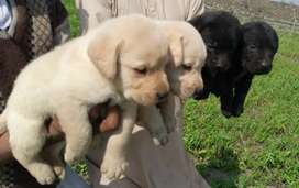 Love Labrador puppies male and female champions blood lines