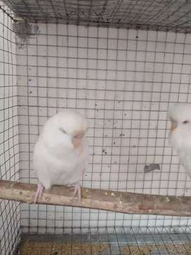 Albino exhibition red eyes UK breed for sale