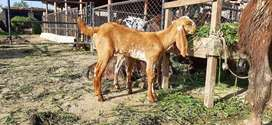 Breeder Makhi Cheeni Female Kid