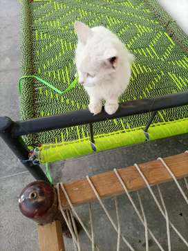 Persian cat white 3 coated