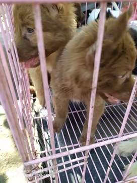 Dijual anjing Siberian kintamani