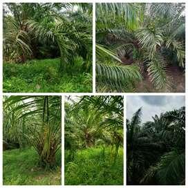 FOR SALE !! 70 Hektar Kebun Sawit Produktif-Muda Di Pandeglang, Banten