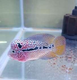 Ikan Louhan Kamfa F3 mongkol ori import