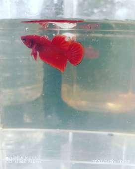 ikan cupang super red