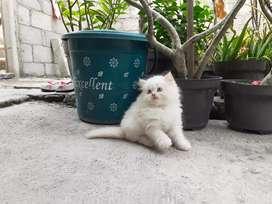 Kucing persia medium jantan