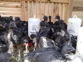 Ayam cemani umur 1.5 bln