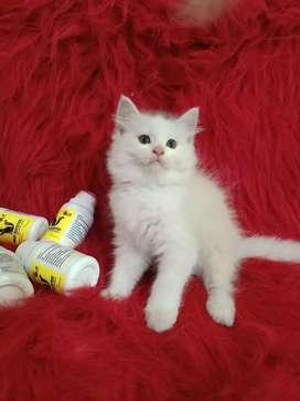 Persia flatnose jantan 2.5 bulan super longhair