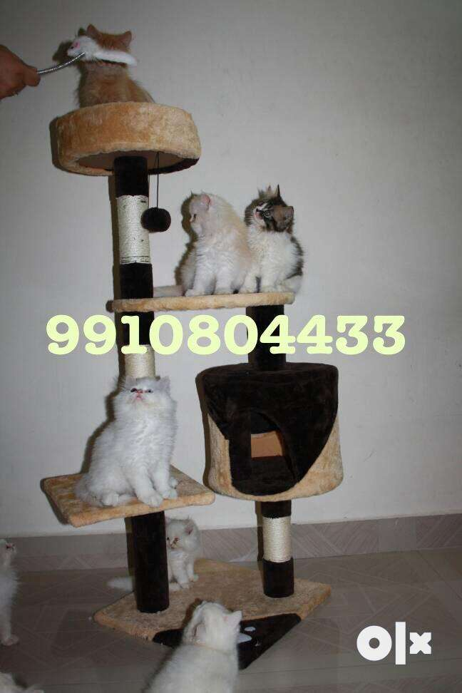 Playful Trained Persian Kittens for Sale 0