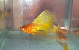 Ikan platy sunrise / variatus sunrise (indukan)
