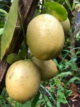 Lemon lokal jumbo