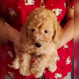Puppy toy poodle asli bulu kriting
