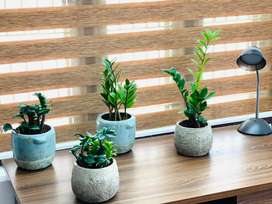 Indoor plants in ceramic and cement pots at reasonable rates