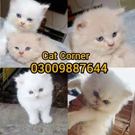 Triple coated punch face kittens are available