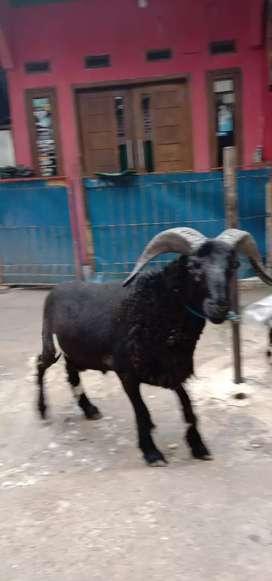 Domba barokah pusat domba berkwalitas