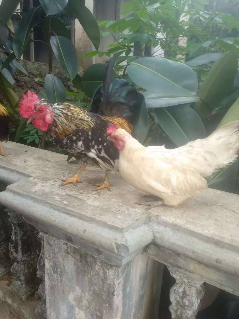 Ayam Kate blorok dan betina warna putih