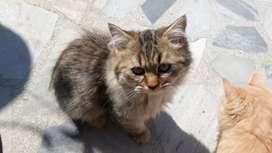 Beautiful Percian kitten available