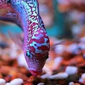 Ikan louhan king kamfa Flowerhorn