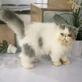 Kucing persia peaknose betina non breeding blue van