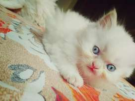 White Persian kitten.