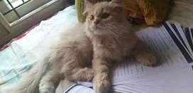 Persian kitten doll face , male