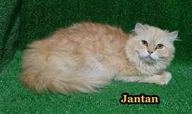Kucing persia 10 bulan