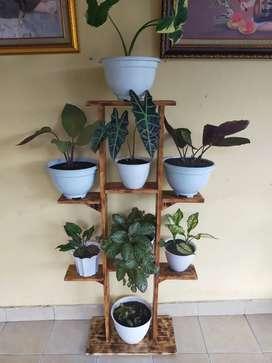 Rak pot dan tanaman hias aglonema, caladium dan calatea